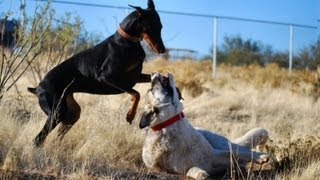 Doberman Vs. Kangal Round 2- The Rematch