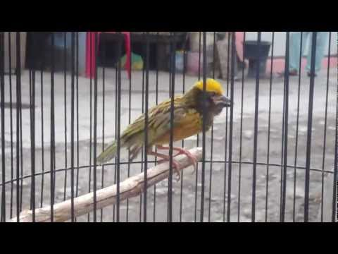 Baya Weaver Singing  / Burung Manyar  [HD]