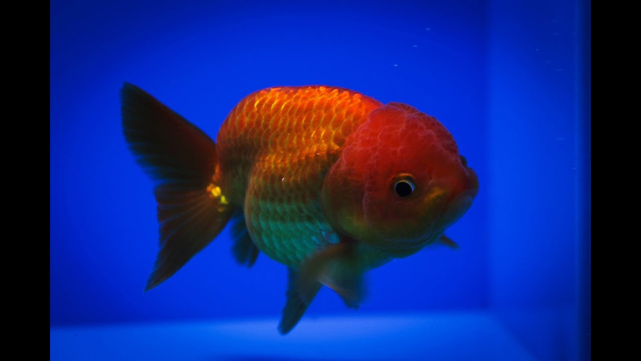 Sold ranchu goldfish for sale fb217 youtube for Gold fish for sale
