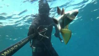 [Spearfishing | white bream, barracuda, sea bream, corvina]