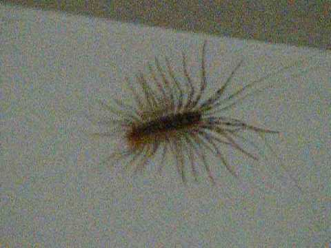 Why Are There House Centipedes In My Room