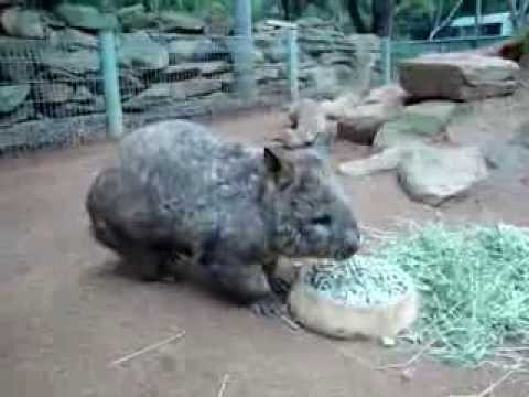Wombat - Featherdale Wildlife Park - Sydney - Australia