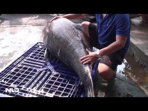 """Cá hô """"khủng"""" nặng 118 kg từ Campuchia về TP HCM"""