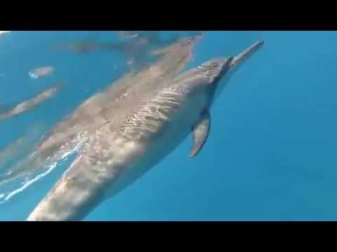 Dancing with Dolphins - Kealakekua Bay in Hawaii