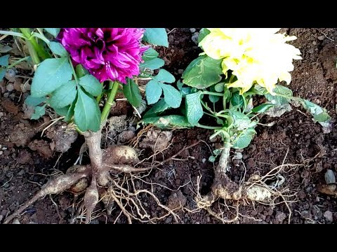 How to care for Dahlia and Chandramallika mother plant