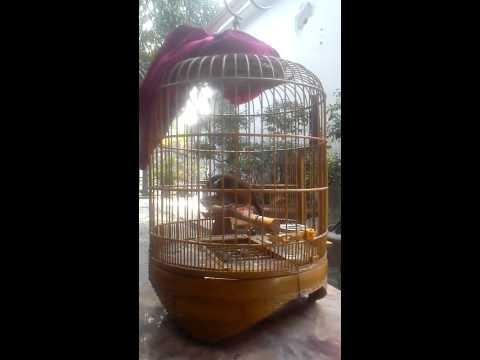 Chim Lai Châu hót hay vô đối (Đã bán)( 0969.917.888)