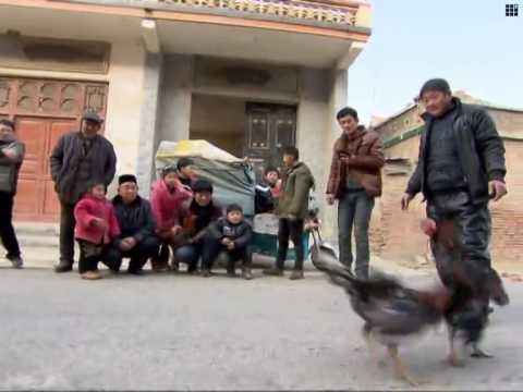 Cockfighting in E China
