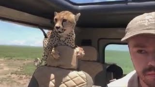 Cheetah jumps into safari car, forcing man to freeze in place for 10 minutes