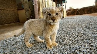 [Cute Little Lion Cubs] Video