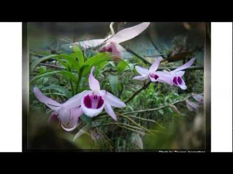 Phong lan rung Viet Nam - Chi lan Hoang Thao - Viet Nam Dendrobium - Thái Bình 2013