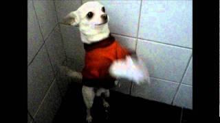 Chihuahua bailando waka waka