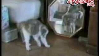 Caídas y tonterías de gatos