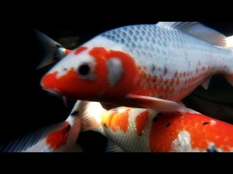 The big three koi varieties for Oldest koi fish