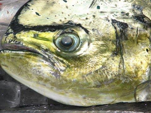 Tonnikalan ja doradojen kalastus