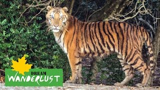[The Royal Bengal Tiger spotted at sudhanyakhali, Sunderban] Video