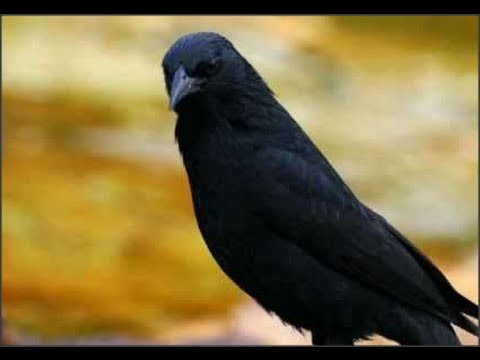pássaro preto pele canto Mateiro Mineiro com 30x15 Minutos de Som de Onda do Mar