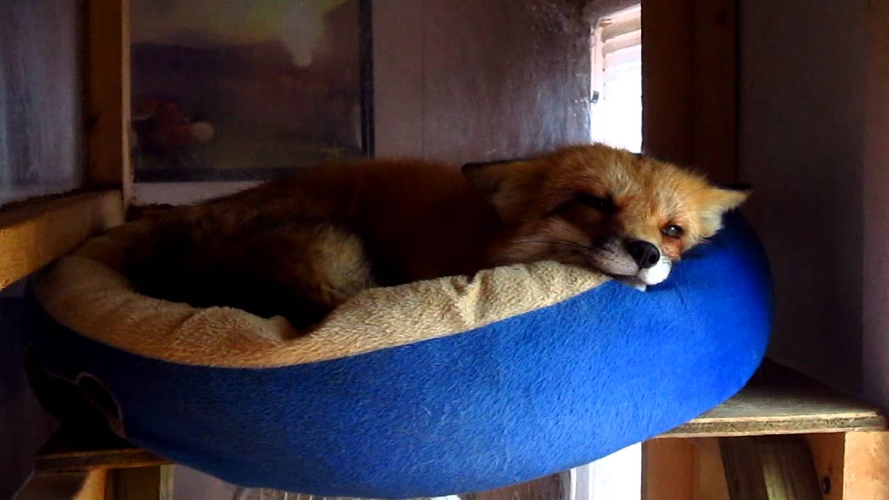 Grouchy Pet Red Fox Ronron Youtube
