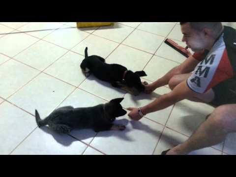 Adestramento de filhotes pastor alemão