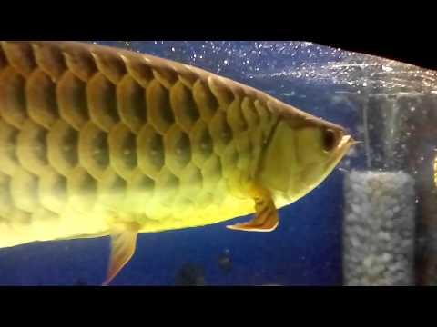 Malaysian golden arowana eating market shrimp