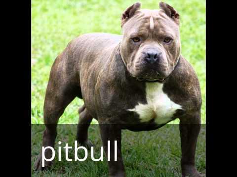 dogs 101 doberman pitbull staffordshire bull terrier and st bernard ...