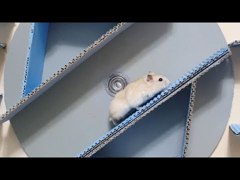 My Funny Pet Hamster in 4-Cylinder Maze Obstacle Course
