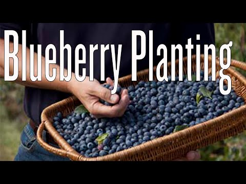 Planting blueberries in containers youtube - P allen smith container gardens ...
