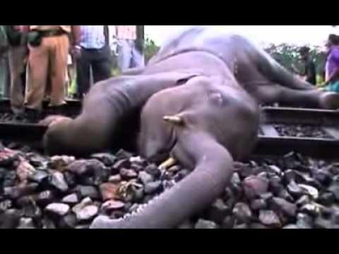 Xe lửa chạy tốc độ cao đã tông chết 5 con voi