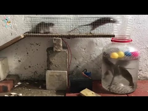 Funny rat trap with unlucky fish