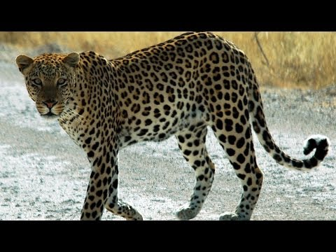 Leopard sparks frenzy in Meerut