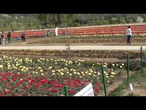 Srinagar - Tulip garden - 5