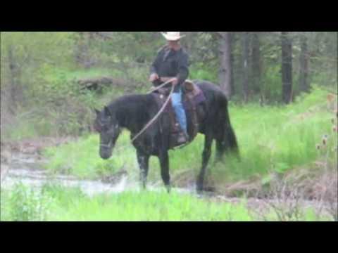 Kona Friesian Stallion ~ The perfect Gentlemen!