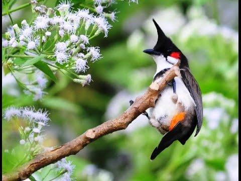 Vẻ đẹp chim chào mào nơi hoang dã