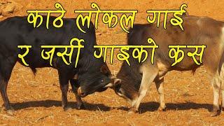 Annapurna Cow Farm In Nepal