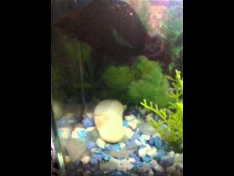 Como sabe se o peixe  betta é macho ou fêmea