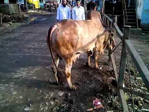 Surti bull