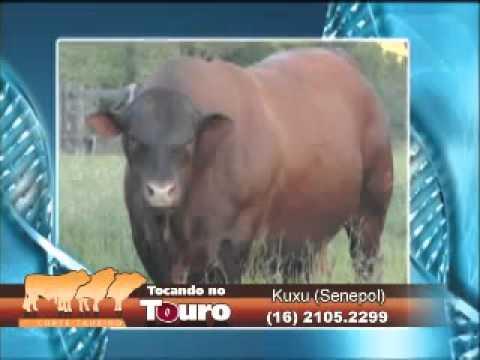 Tocando no touro - Kuxu Soledade...