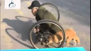 Anjing ini membantu orang cacat mendorong rodanya