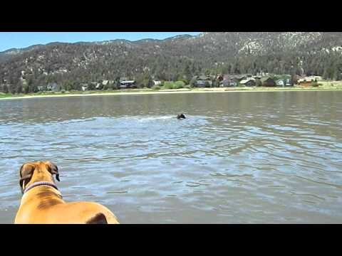 Boerboel Odi Swimming in the deep