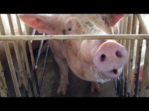 Shocking Animal Cruelty at Tyson Foods Supplier (2013 Webby Award Winner)