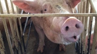 Shocking Animal Cruelty at Tyson Foods Supplier