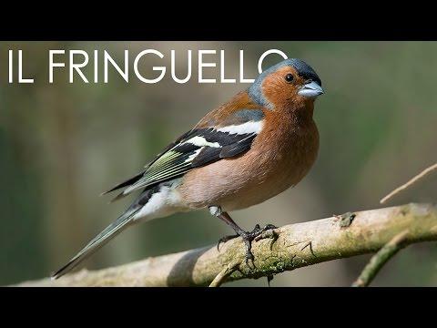 Il Fringuello (Fringilla coelebs)