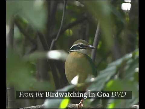 Birdwatching in Goa