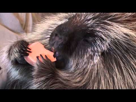 Teddy Bear 011114 - the porcupine