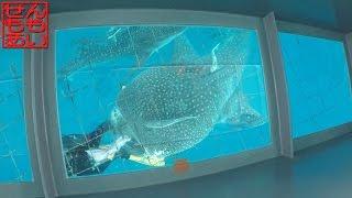 ジンベエザメを見学する