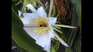 How To Pollinate Dragon Fruit Flowers 101