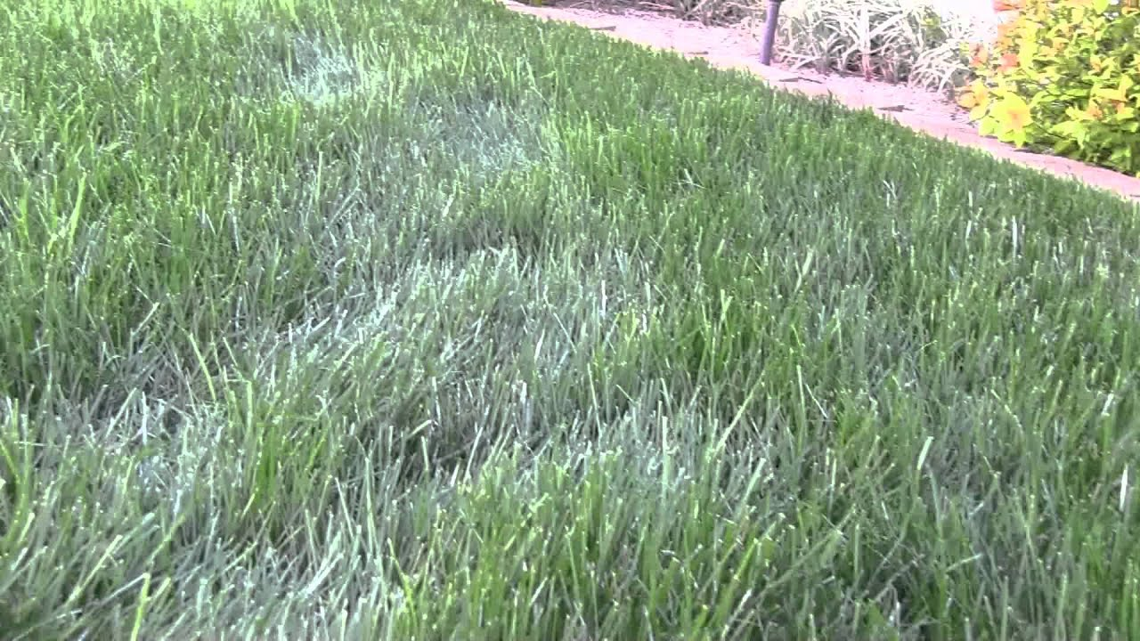 Image Result For Red Thread Lawn Disease
