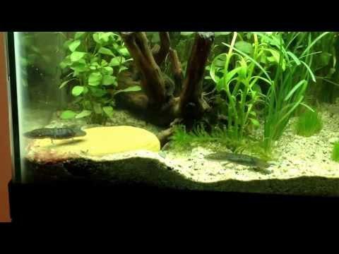 Resumen de ajolote y pez betta