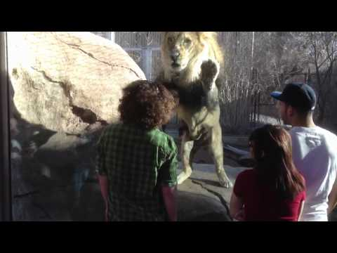 Lion not happy with a guy