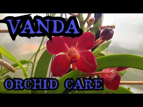 Vanda Orchid Care: Info on watering and root health  