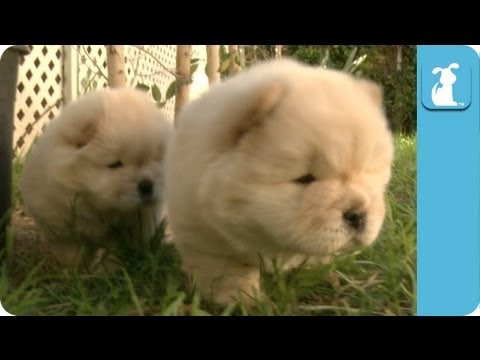 Fluffy Golden Chow Chow Puppies - Puppy Love